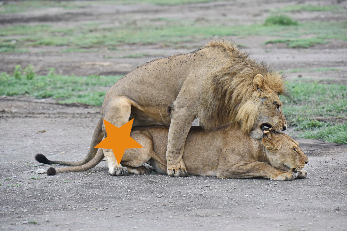 Sesso leoni