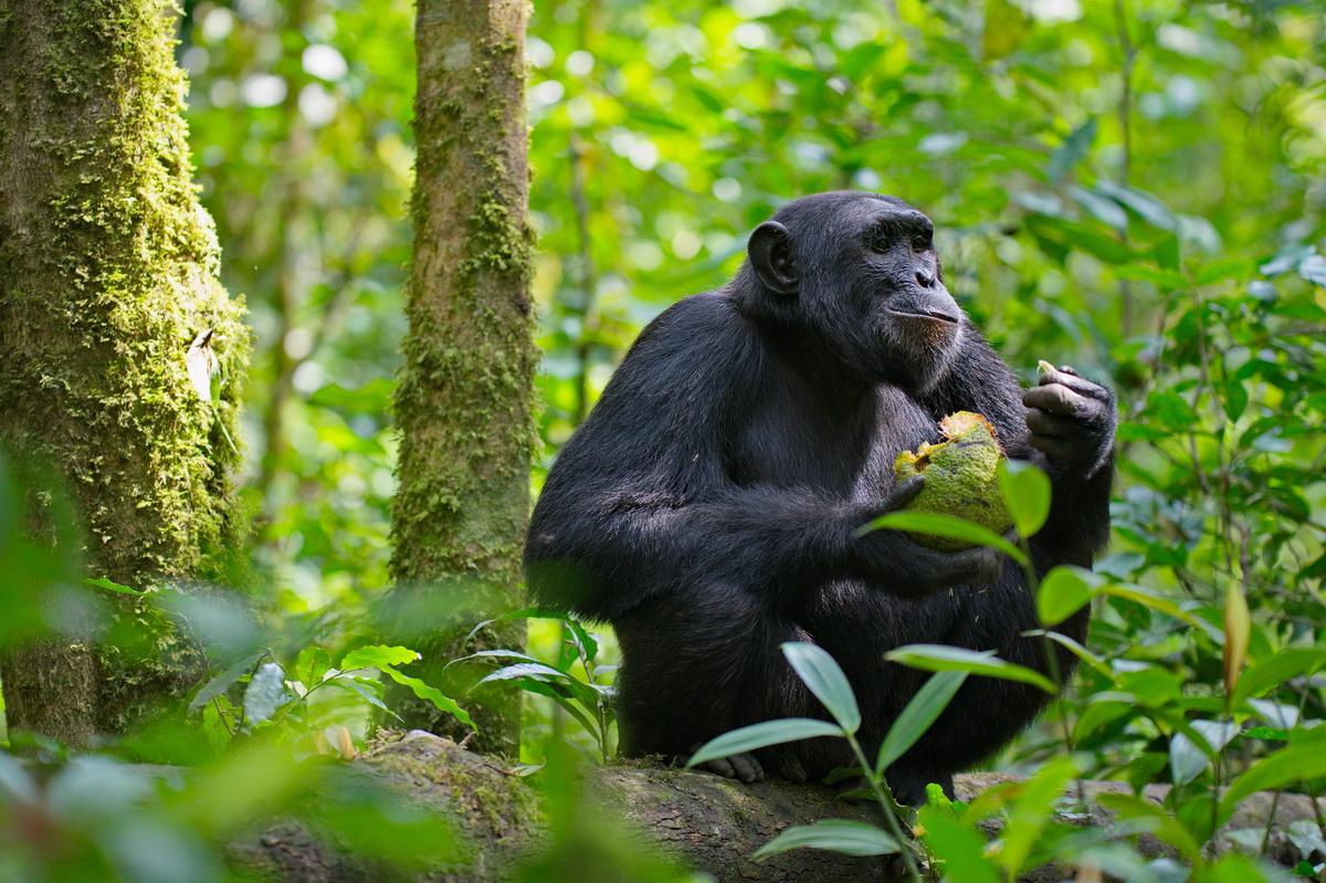 Chimpanzee_32