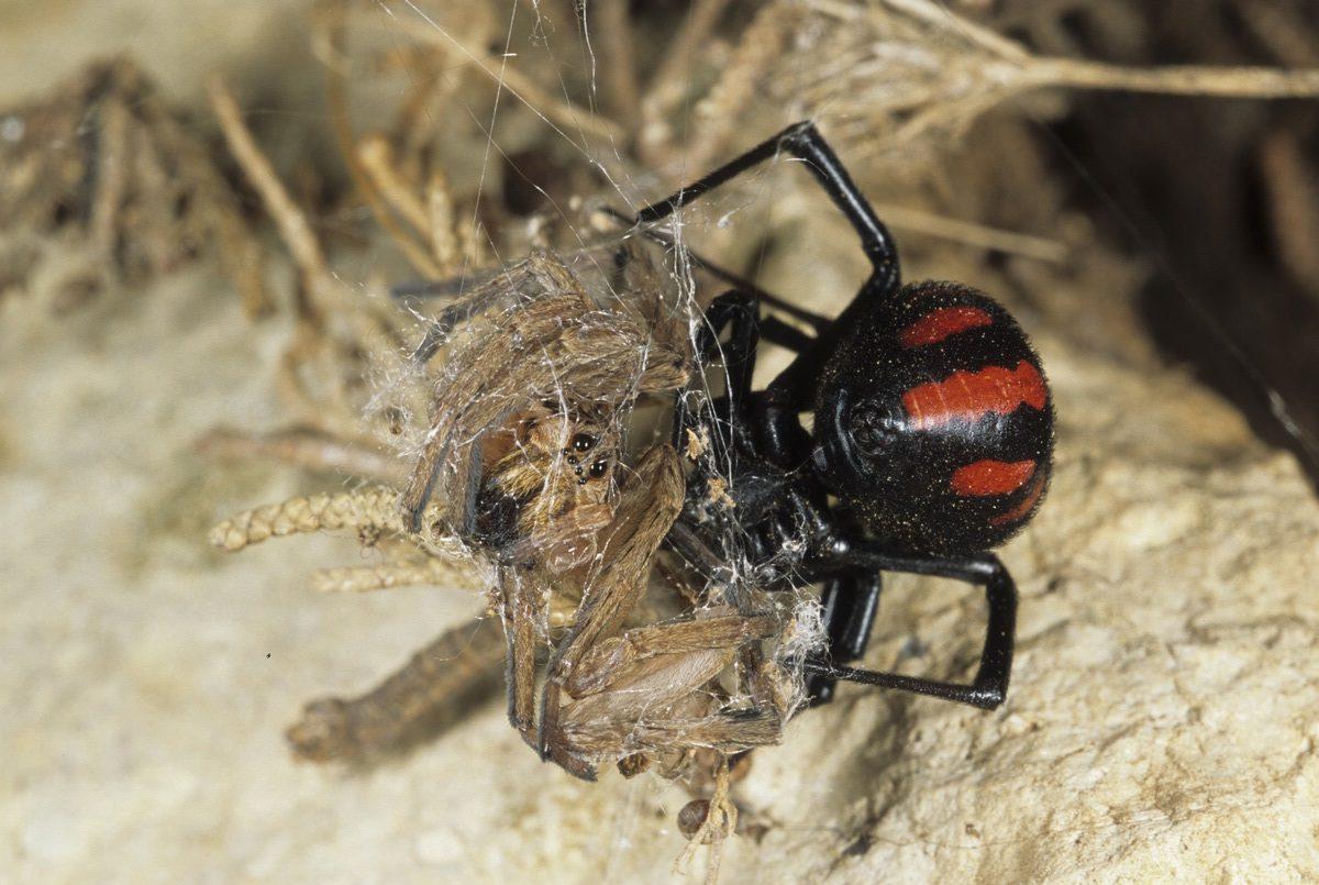 European black widow