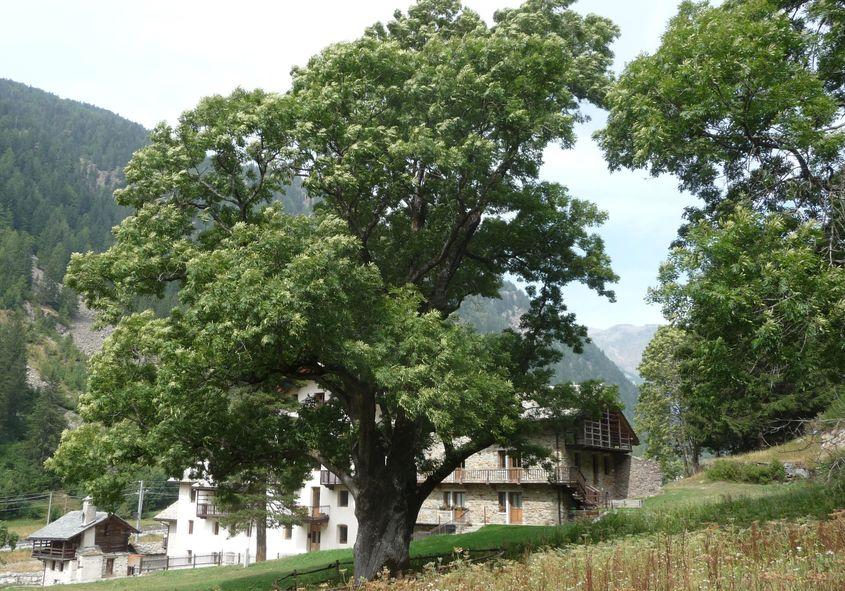 01 Val d_Aosta Il Frassino di Pont-Sec 70x100