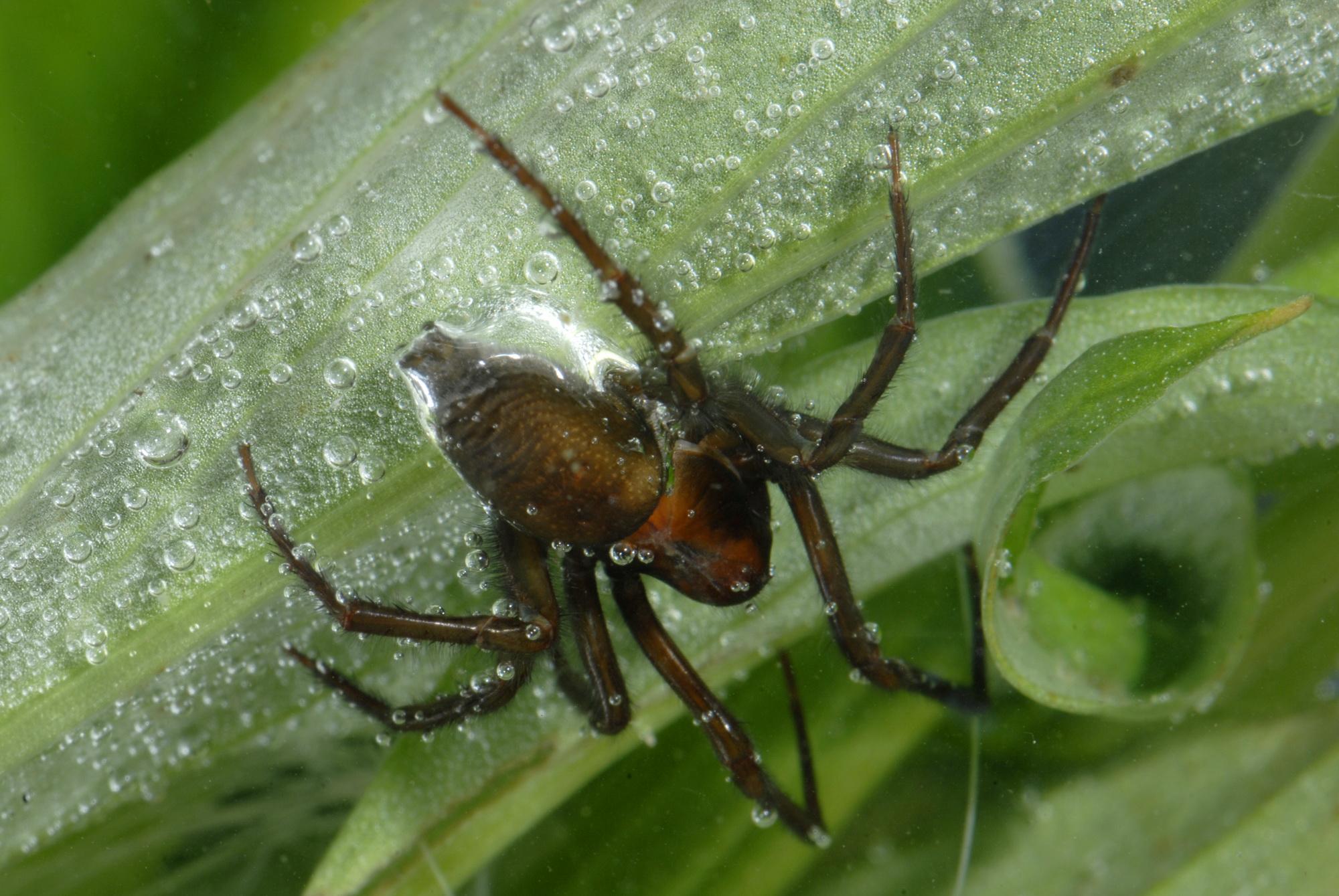 European diving spider