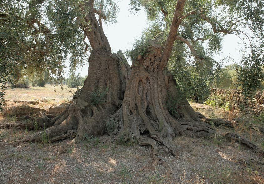 18 Puglia Olivo il Barone (70 x 100)